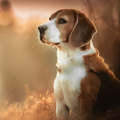 Dog Wallpapers Backgrounds Pro