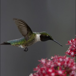 Hummingbirds Guide +