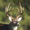 Whitetail Deer Calls