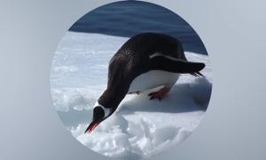 Penguins Guide Pro