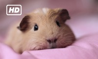 HD Pigs TV