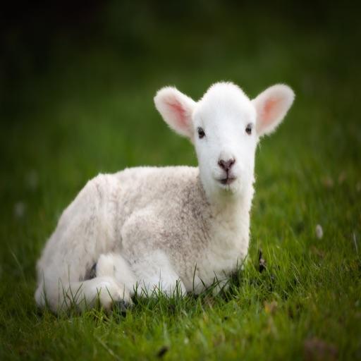 Lamb Sounds - Cute Loving Farm Animal iOS App