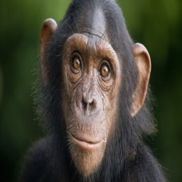 Chimpanzee Sounds Ringtones and Alarms and More