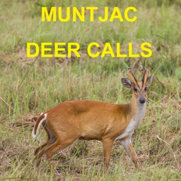 Muntjac Deer Calls Sounds for Big Game Hunting HD