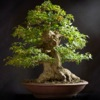 Bonsai Basics - Learn All About Growing Bonsai Trees - iPhoneアプリ