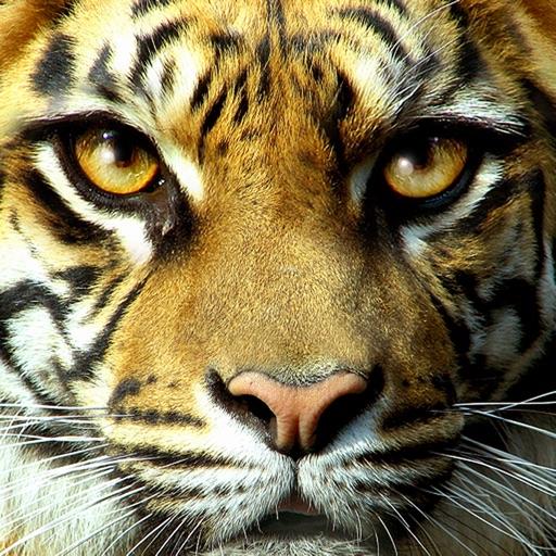 Wild Cats Slideshow & Wallpapers
