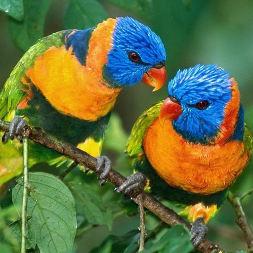 Parrots HD