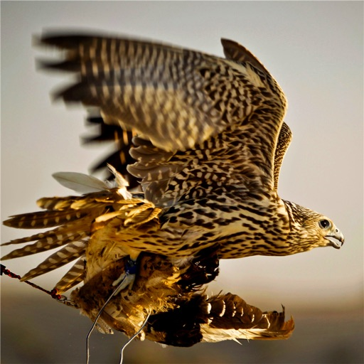 Falconry 101:Handbook and Training Guide