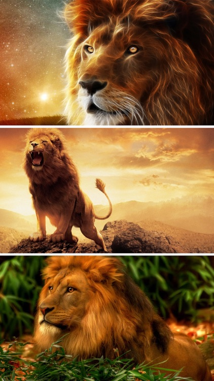 Lion Wallpapers HD - Great Lions Pictures Catalog screenshot-3