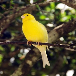 Canary Birds - High Quality Sounds for Bird Watching