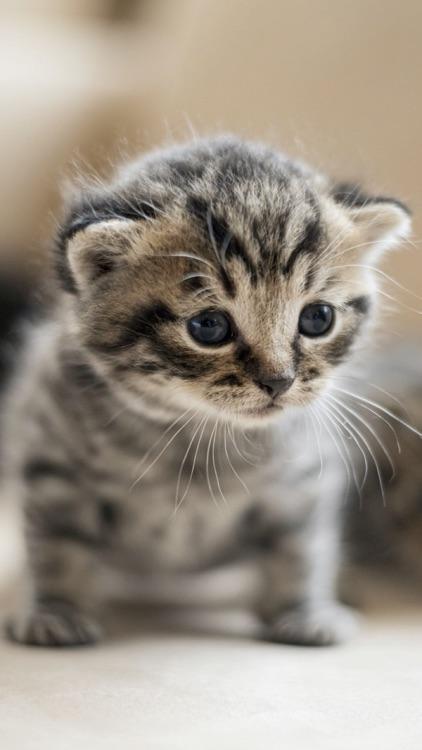 Cat & Kitten Wallpapers - meow