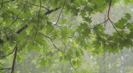 Rain Through the Trees - Tranquil Music and Relaxing Rain Shower While Sheltering Under a Might Oak Tree - Nature Music